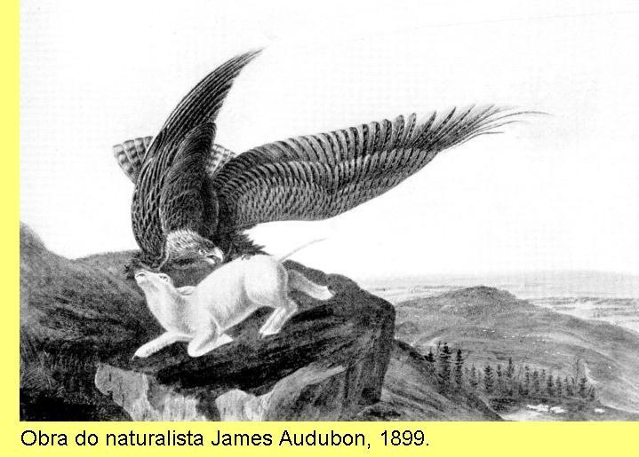 Águia, de James Audubon.